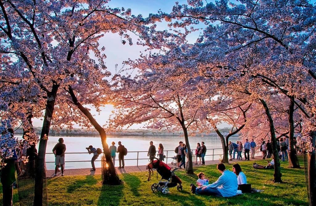 cherry blossom festival - 1024×668